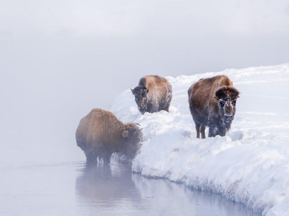 Buffalo in Yelowstone River