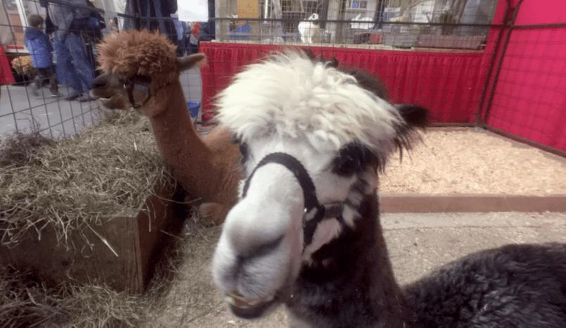 Alpaca Ontario at the Royal Winter Fair
