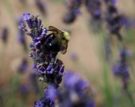 Lavender Farm 25