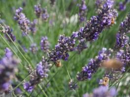 Lavender Farm 32