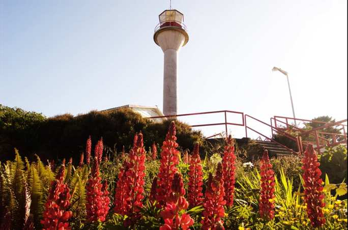 Lighthouse Lupins