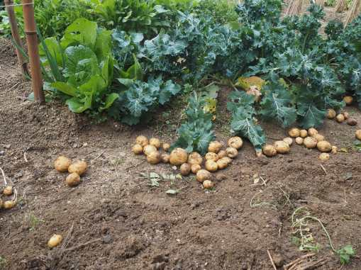 Freshly dug potatoes dry out amongst the winter vegetables before being put into outdoor storage.