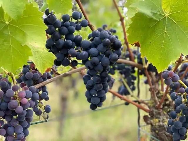 chateau hollandaise nederlandse wijnbouw