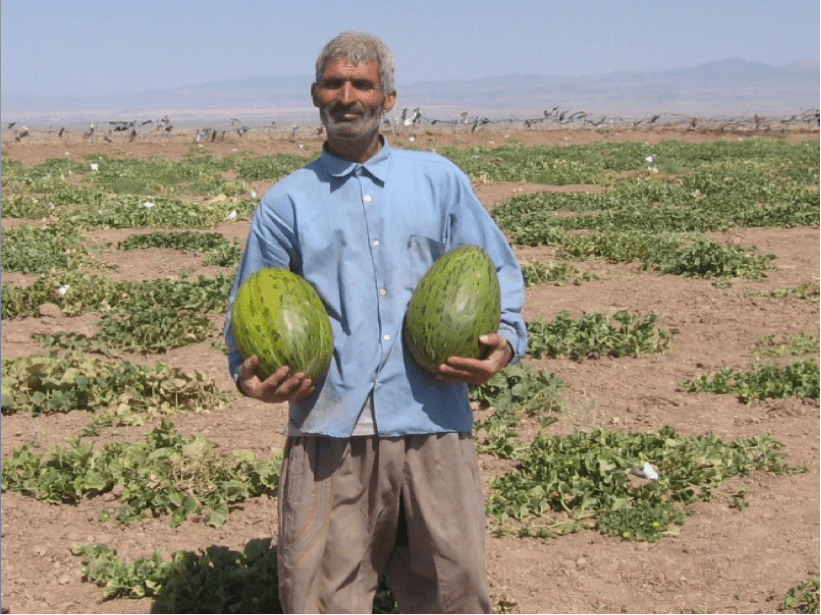 Figure 10. Melons irrigated solely with passively harvested runoff in bandsar field