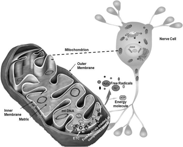 mitochondria-image