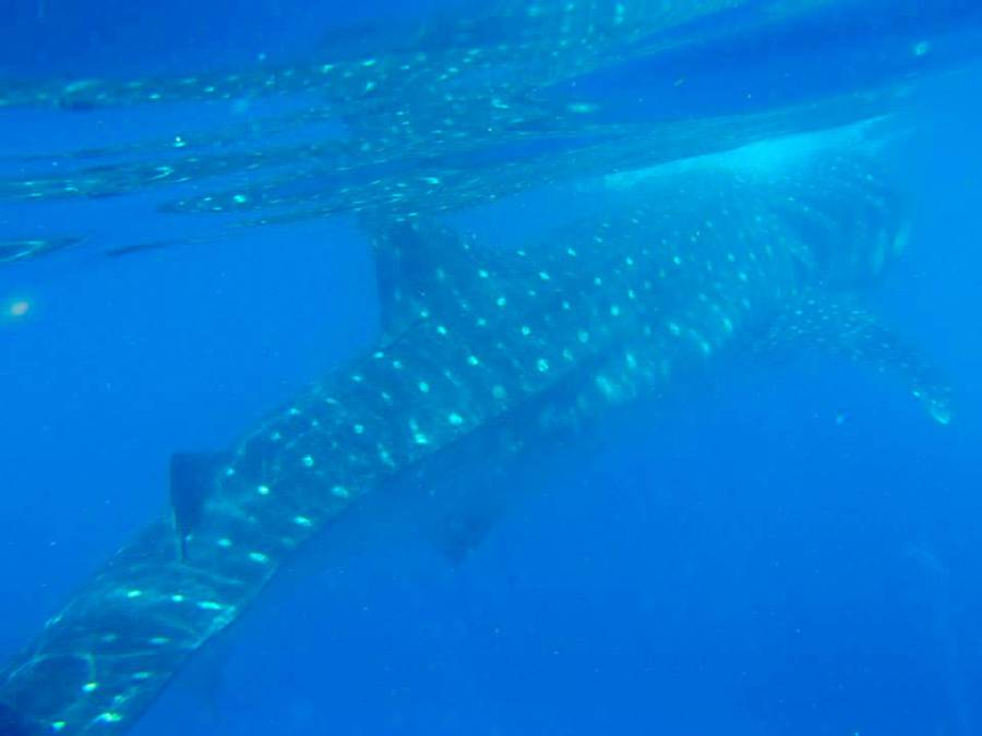 If you are visiting Mexico between June and September during the whale shark season, definitely go swimming with whale sharks off the coast of Cancun and Isla Mujeres, Yucatan.
