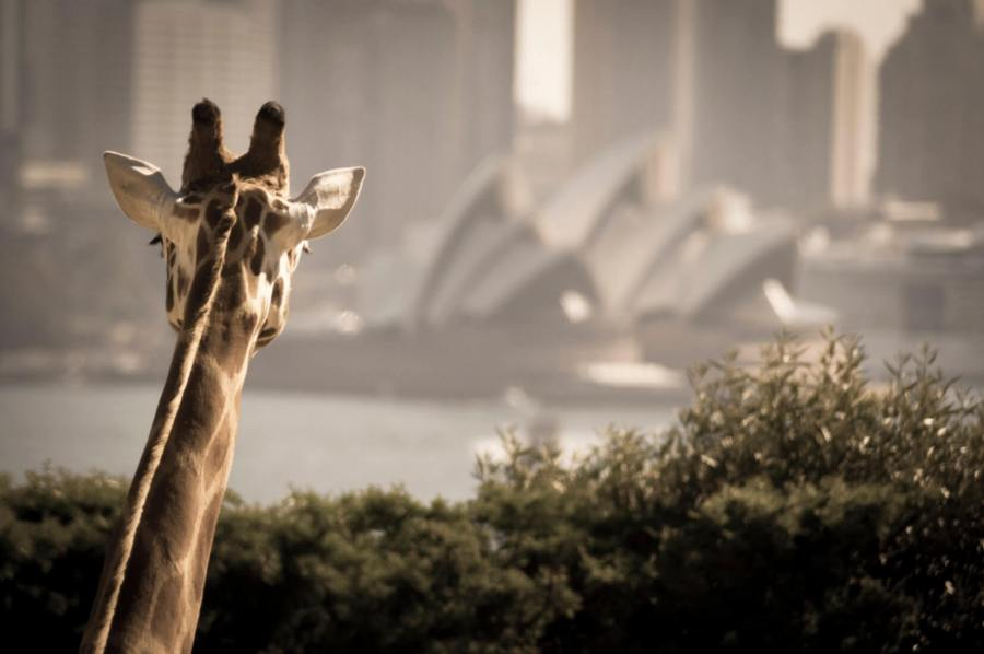 What To Do in Sydney? Visit Taronga Zoo!