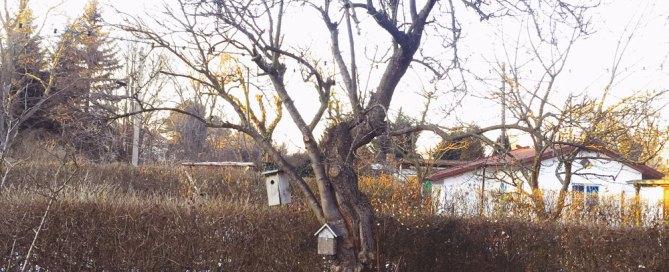Pflaumenbaum vor dem Veredeln im Schrebergarten