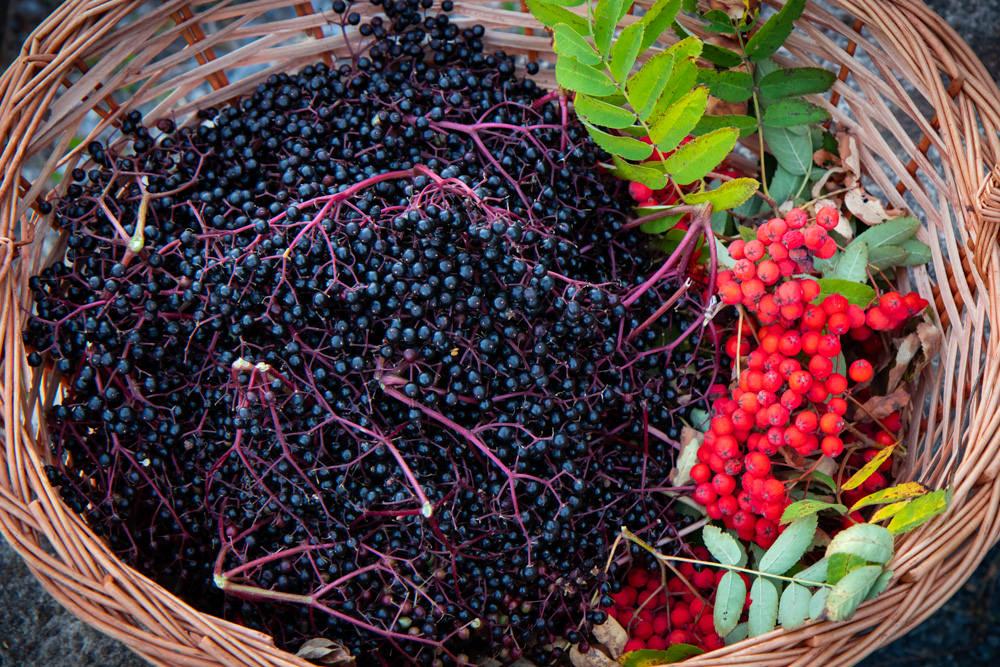 Gesammelte Früchte von Holunder und Eberesche