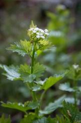 Knoblauchsrauke in der Blüte, ein essbares Wildkraut
