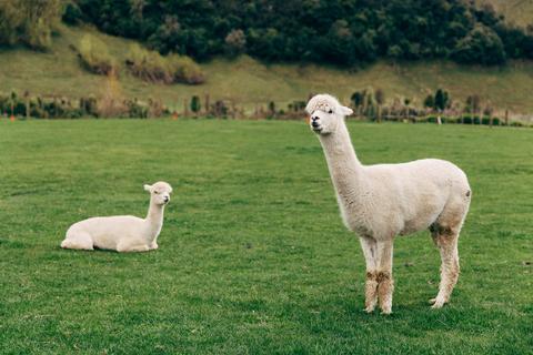 Alpaca Blankets for Winter Weddings