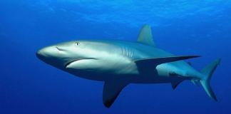 Köpekbalığı dehşet saçtı