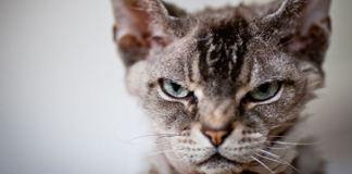 Kedinizde aslan siniri var!