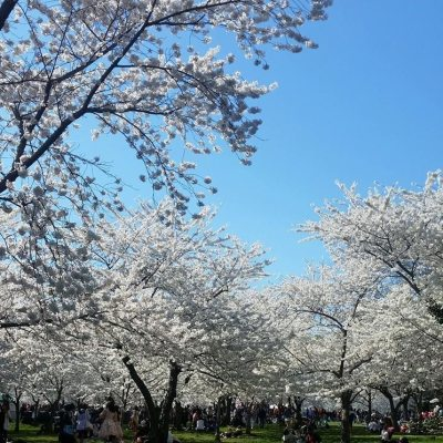 Cherry Blossom Season in Washington, D.C.