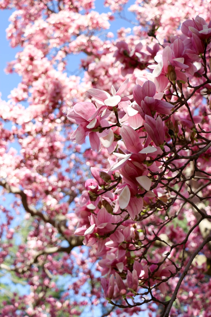 Magnolia trees blooming in D.C.