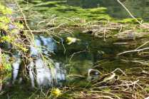 Can you spot the bullfrogs?