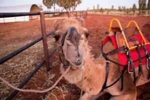 camel rides uluru