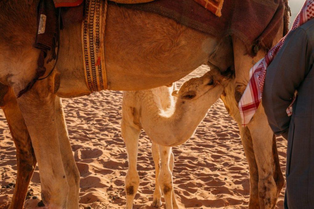baby camel!