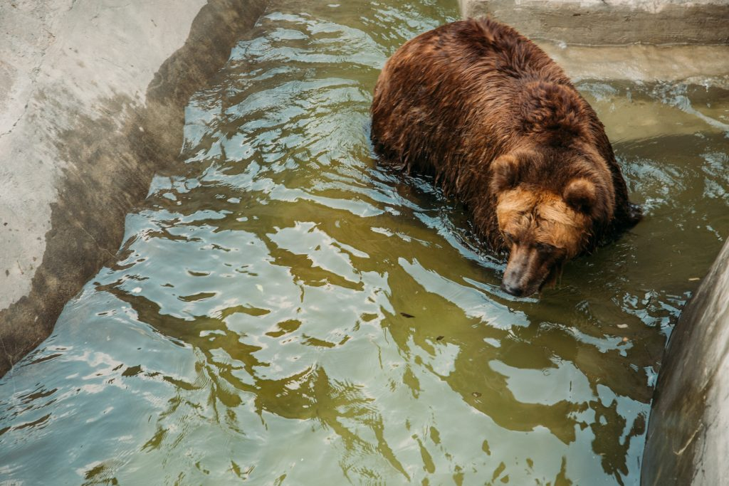 The Brown Bear fishing at the Moscow Zoo