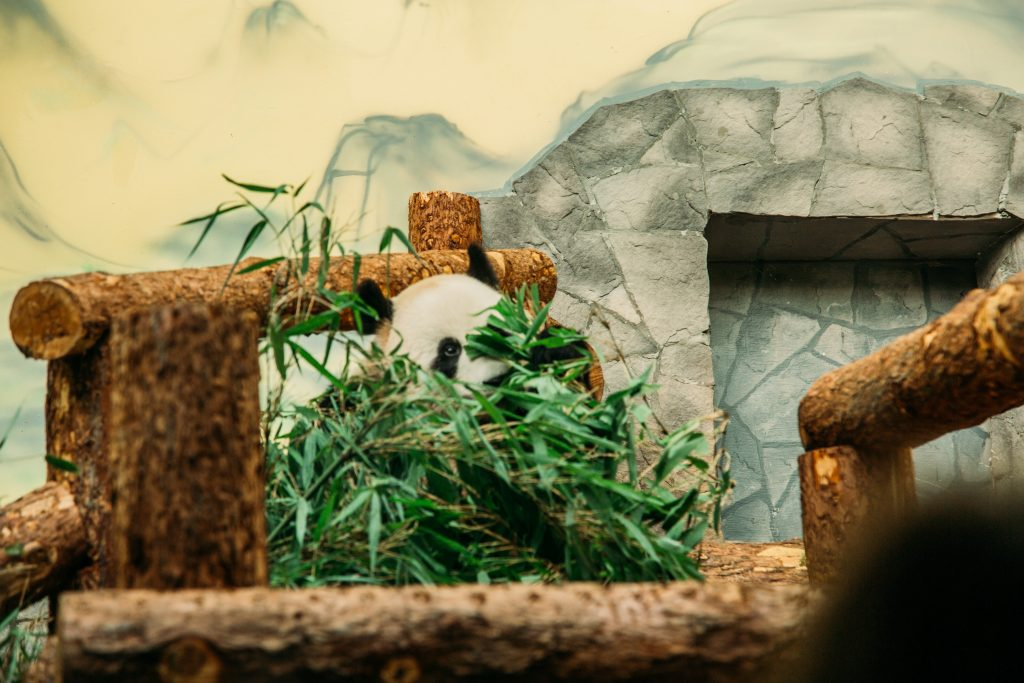 The Panda at the Moscow Zoo during feeding time