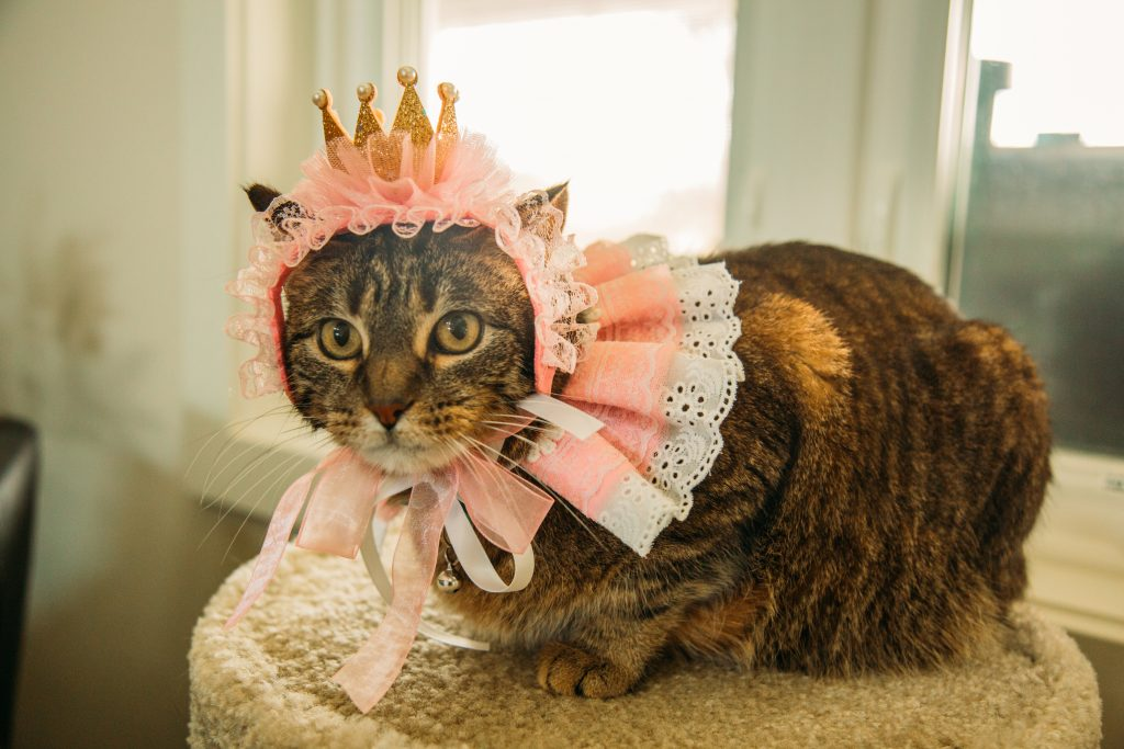 Miss Kitty dressed up in her princess Halloween costume for cats