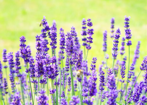 New Life Lavender and Cherry Farm