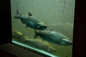 Watching the Salmon at Ballard Locks
