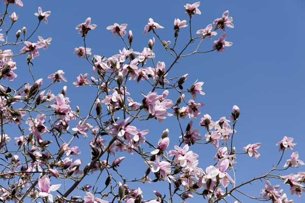 magnoliesieboldii