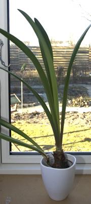 Amaryllis med blade