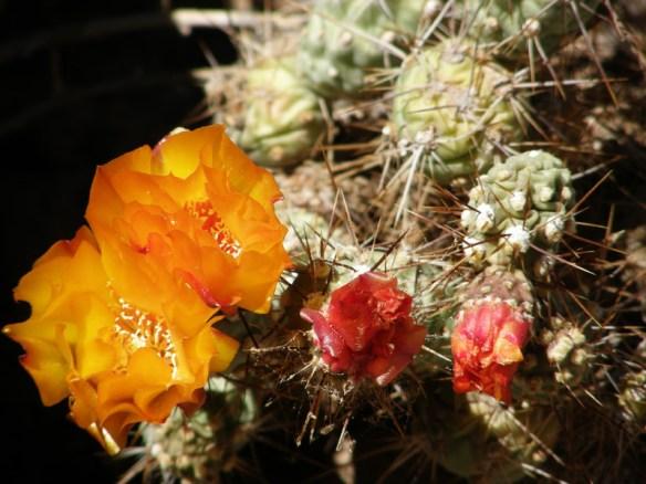 Colourful cactus flowers in the Atacama Desert, Chile.