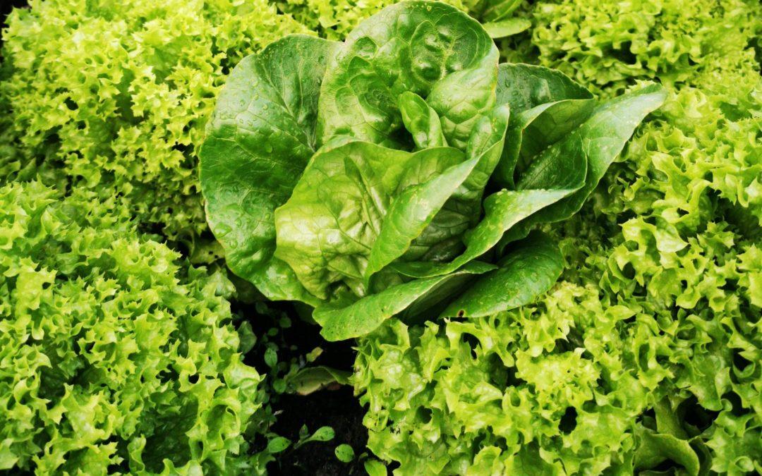 Salat i køkkenhaven | Have til Bord