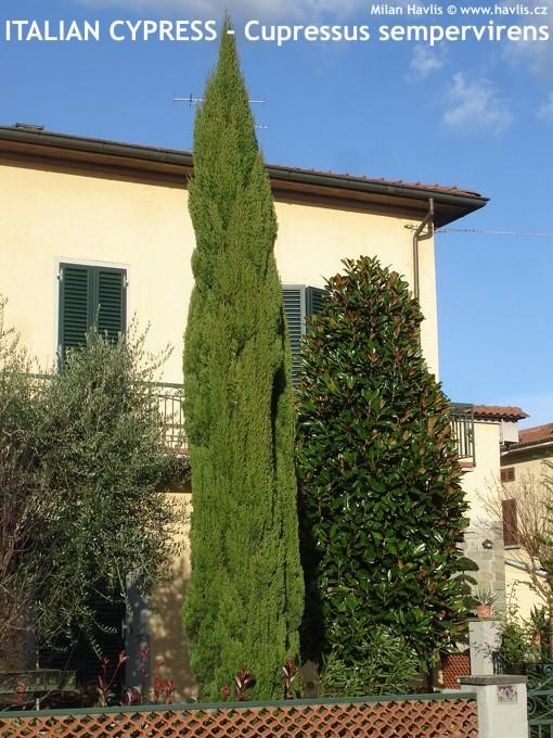 Juniperus Communis ARNOLD Havliscz