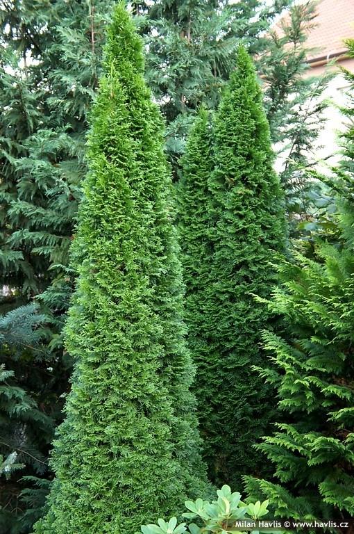 Evergreen Shrubs Zone 7 Full Sun