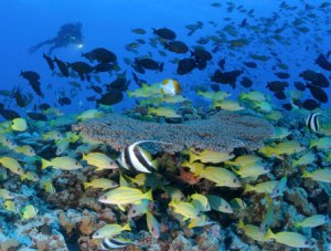 diver and fish by coral reef