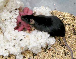 male mouse with two Y genes