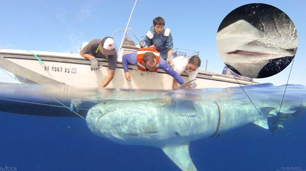Researchers Tag More Tiger Sharks To Track Online