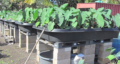 aquaponics setup with taro, kalo plants