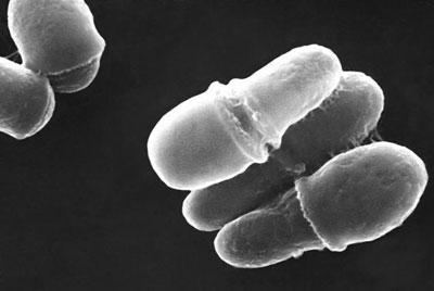 micrograph of Malassezia