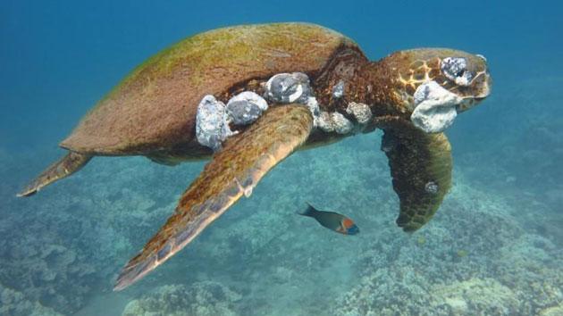Invasive Algae, Pollution Cause Lethal Tumors On Sea Turtles
