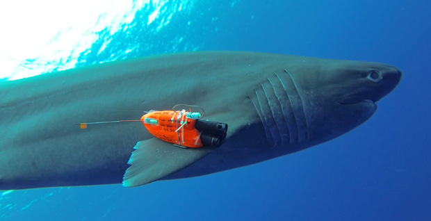 A sixgill shark equipped with an instrument package returns to deep water. (photo credit: Mark Royer, UH)