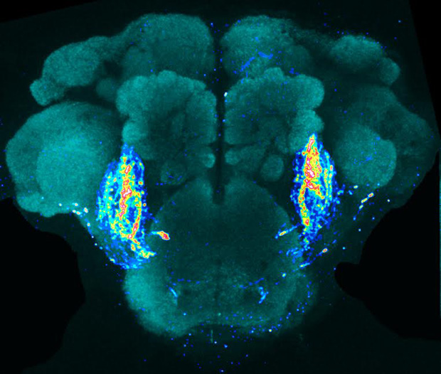 The neural pathway that control the perception of a taste pheromone has been genetically labelled with a fluorescent protein. Photo credit: Meredith Calvert and Kah Junn Tan