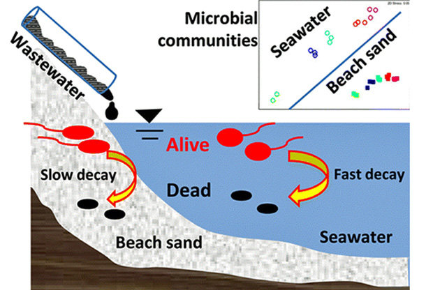 The decay of fecal indicator bacteria and the change of microbial community structure were slower in beach sand than in seawater. Photo credit: ACS