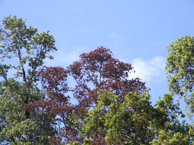 ohia trees