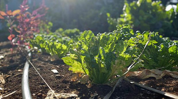 vegetable garden crop