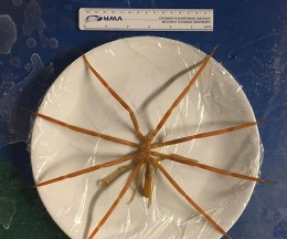 dinner-plate-sized Antarctic sea spider