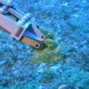 Hundreds of species of fungi in deep coral ecosystems discovered by UH Mānoa botanists