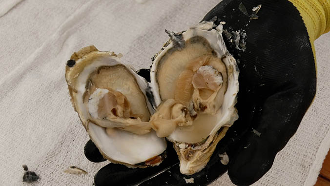UH Hilo Center Grows Oysters And The Aquaculture Workforce