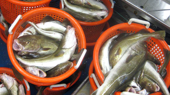 buckets filled with Atlantic cod