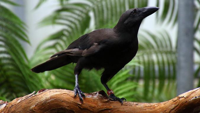 Alala or Hawaiian Crow