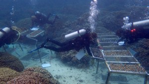 Gates Coral Lab members scuba diving and tending to corals, click for larger image